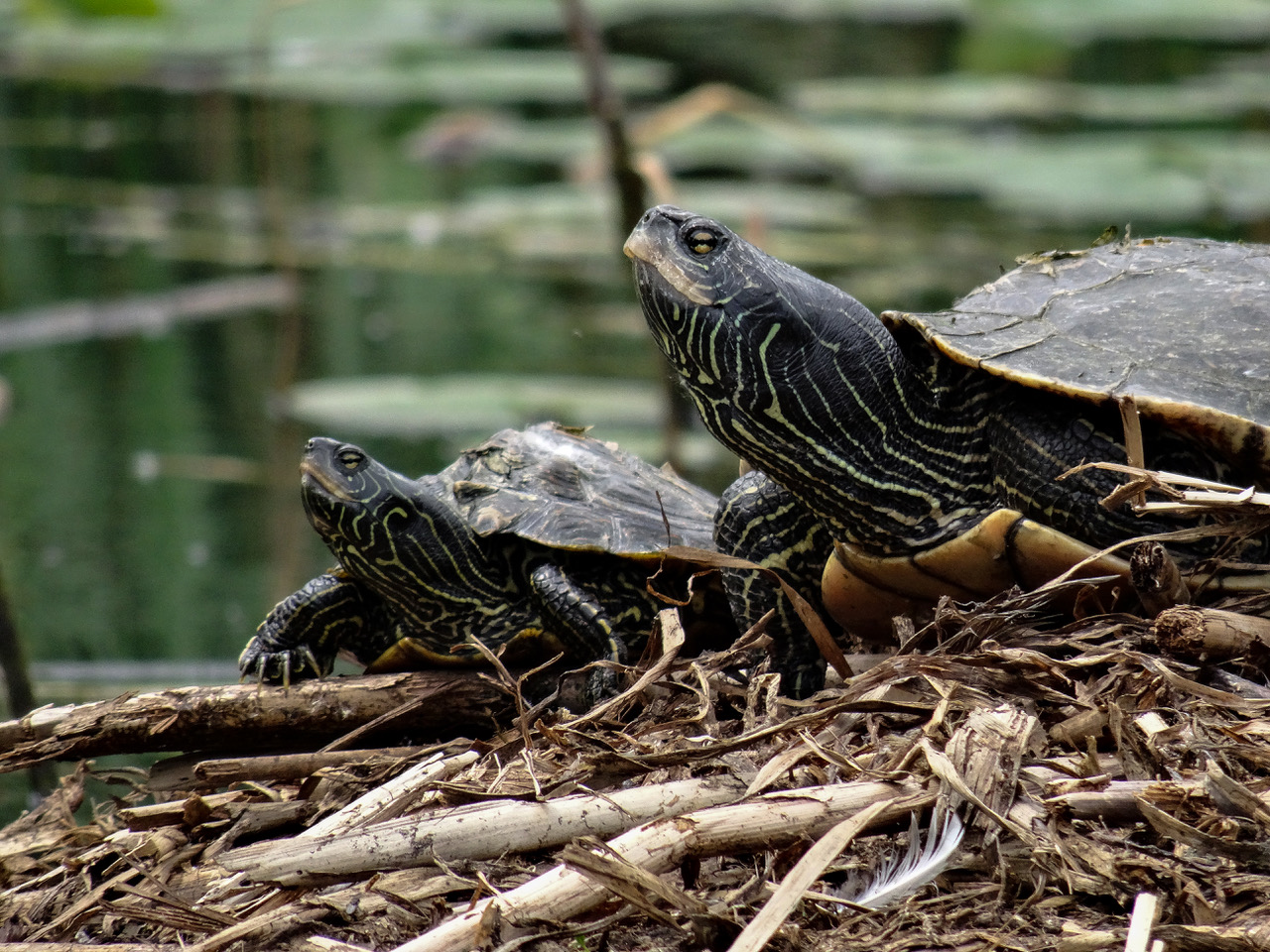 Northern Map Turtles