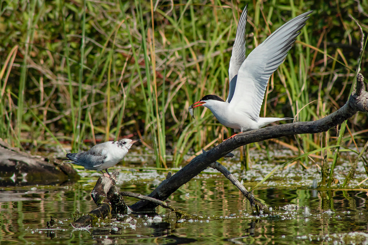 Tern Encourages Young to Fly