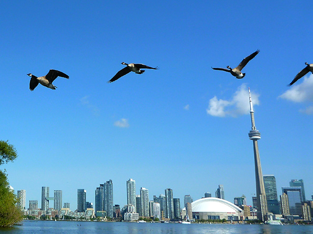 Canada Geese and CN Tower